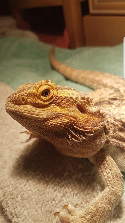 Monster den sk?ggiga draken royaltyfri foto