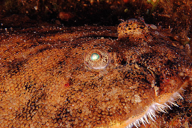 Monster fish. Eyes of fish abysmal sandy bottom royalty free stock photos