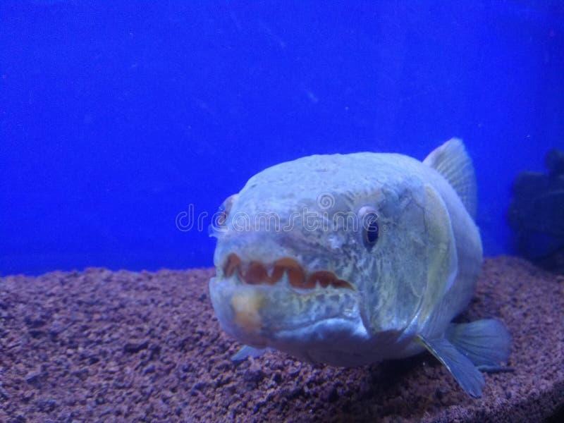 Monster fish stock photo