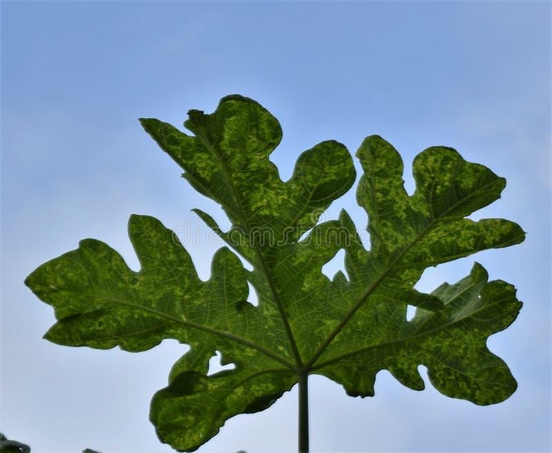 Monster leaf stock photo