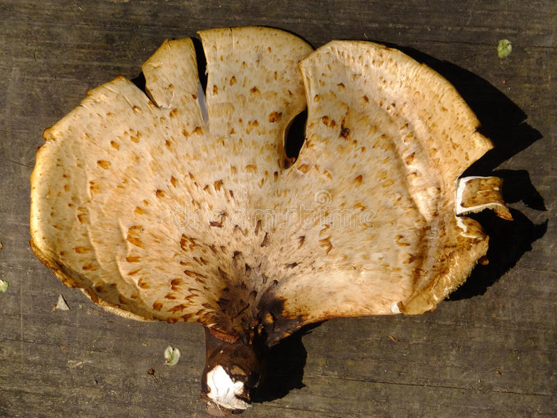 Monster Mush. Large wild mushroom lying upon a wooden walkway stock images