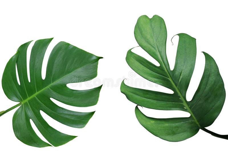Monstera和分裂叶子p热带叶子自然框架布局  免版税库存照片