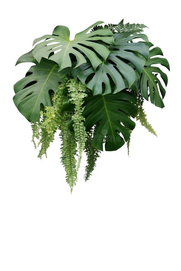 Monstera和垂悬的蕨绿色l热带叶子植物灌木  免版税库存照片