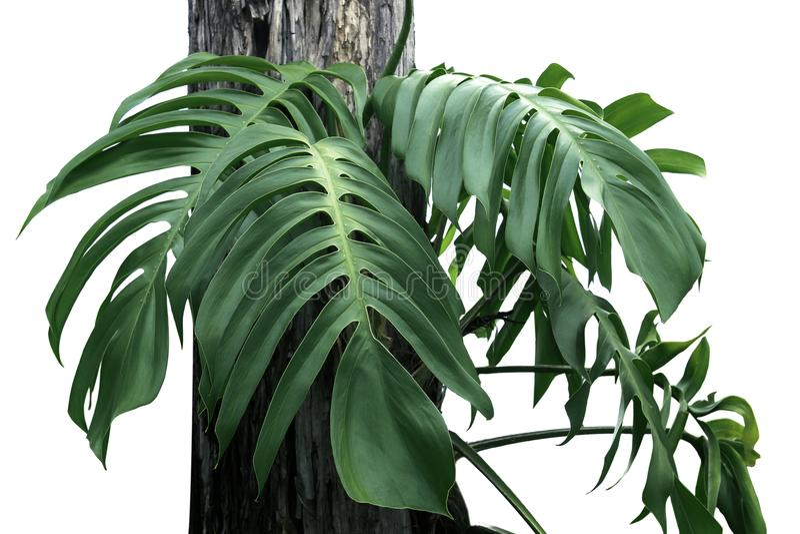 monstera孤立绿色叶子在白色的 库存图片