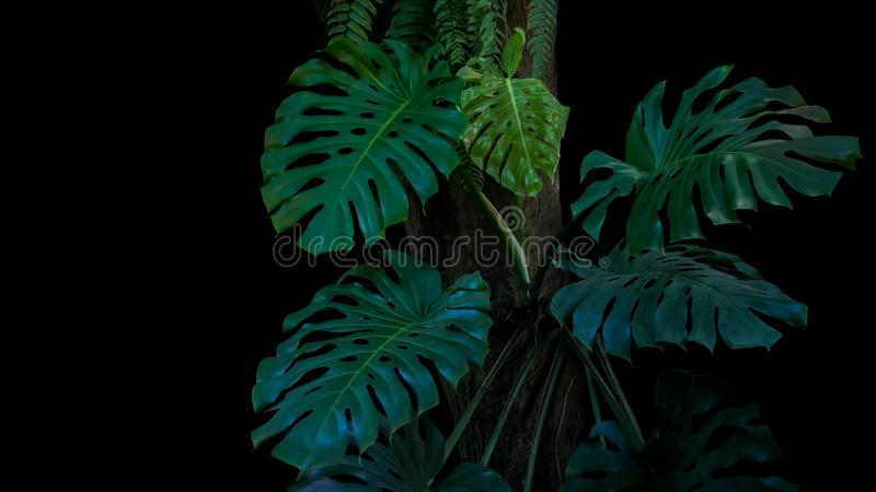 monstera或分裂叶子爱树木的人Monstera de绿色叶子  免版税库存图片