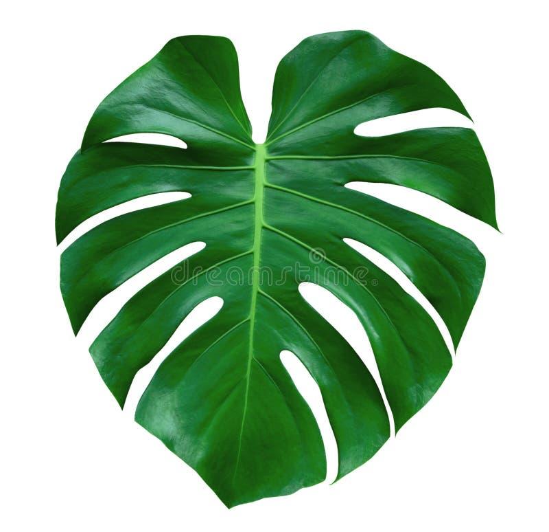 Monstera植物叶子,在白色背景隔绝的热带常青藤,道路 免版税图库摄影