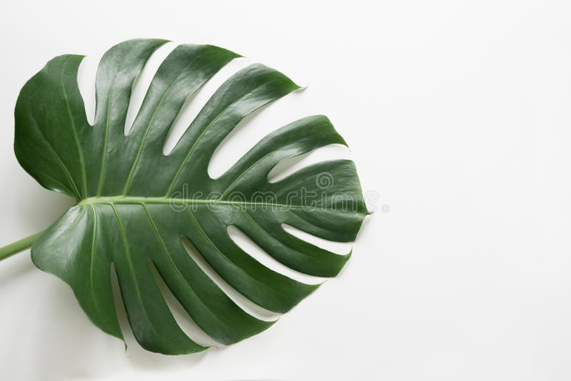 Monstera植物唯一叶子白色背景的 关闭,隔绝与拷贝空间 免版税库存图片