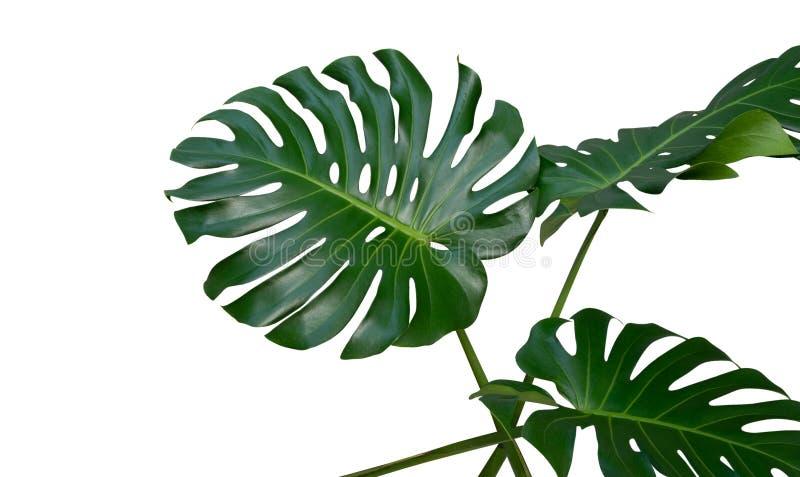 Monstera植物在白色背景,道路离开,被隔绝的热带常青藤 库存照片