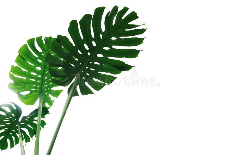 Monstera植物或分裂叶子爱树木的人Monstera deliciosa绿色事假在白色隔绝的热带叶子室内植物 免版税库存图片
