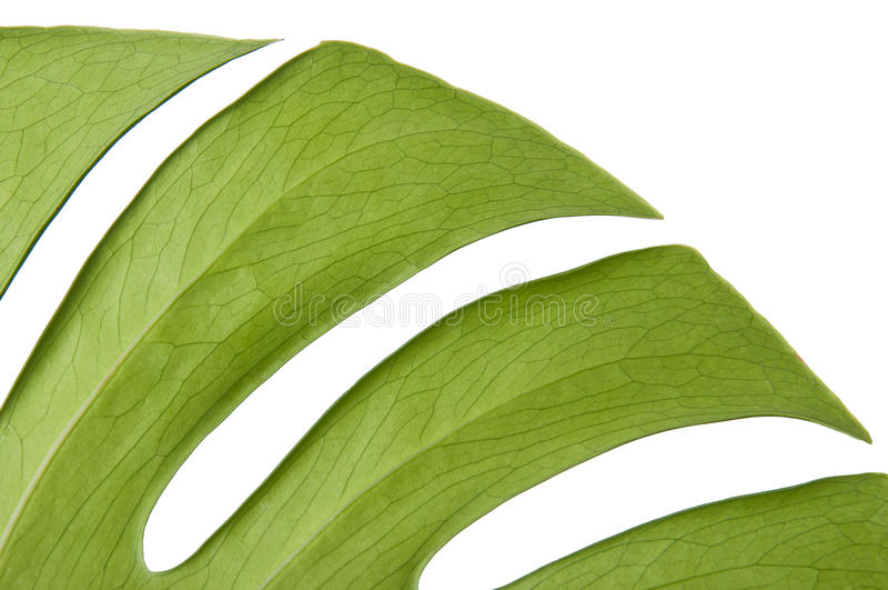Monstera绿色叶子  免版税库存图片