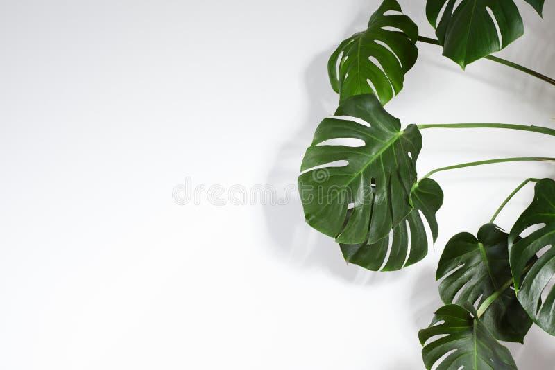 Monstera или предпосылка лета листьев ладони минимальная белая Космос для текста Copyspace с тропическое флористическим зеленые л стоковое изображение
