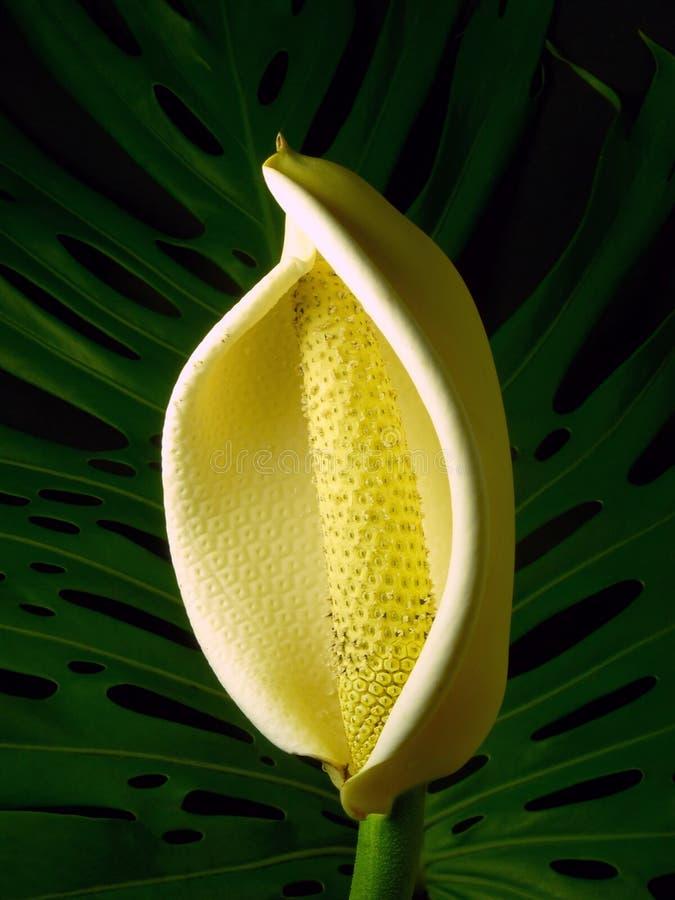 monstera цветка deliciosa стоковая фотография