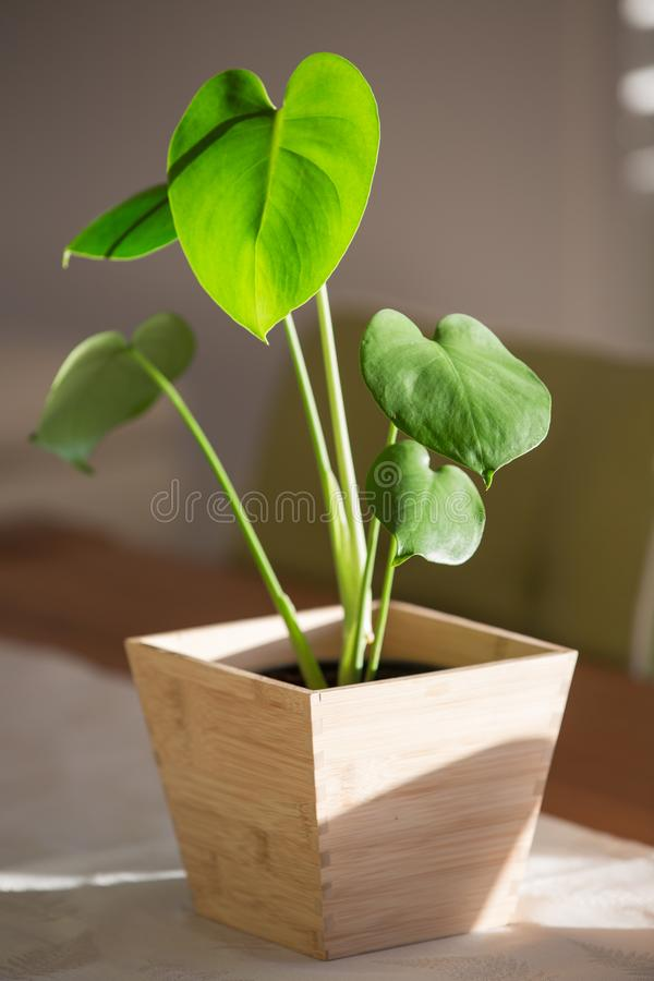Monstera baby plant in a pot royalty free stock photos