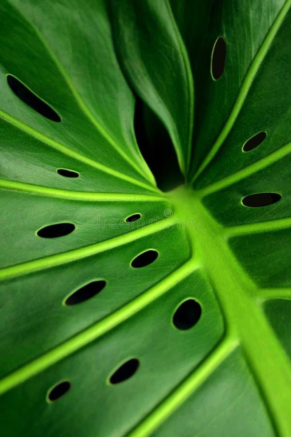 Monstera blad royaltyfria foton