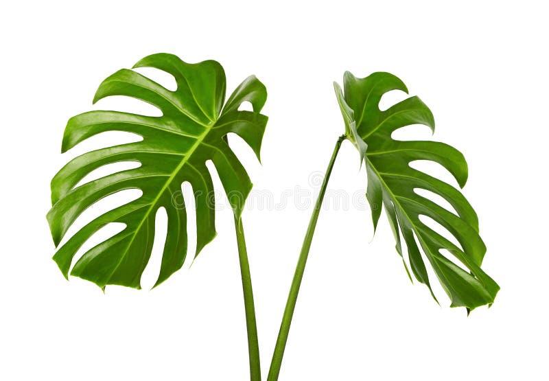 Monstera deliciosa叶子或瑞士乳酪植物,在白色背景隔绝的热带叶子 库存照片