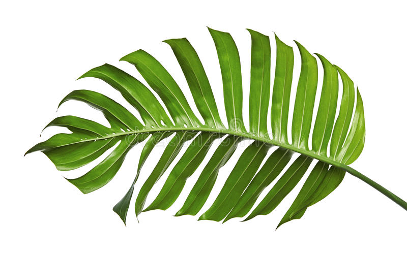 Monstera deliciosa leaf or Swiss cheese plant, isolated on white background royalty free stock photography