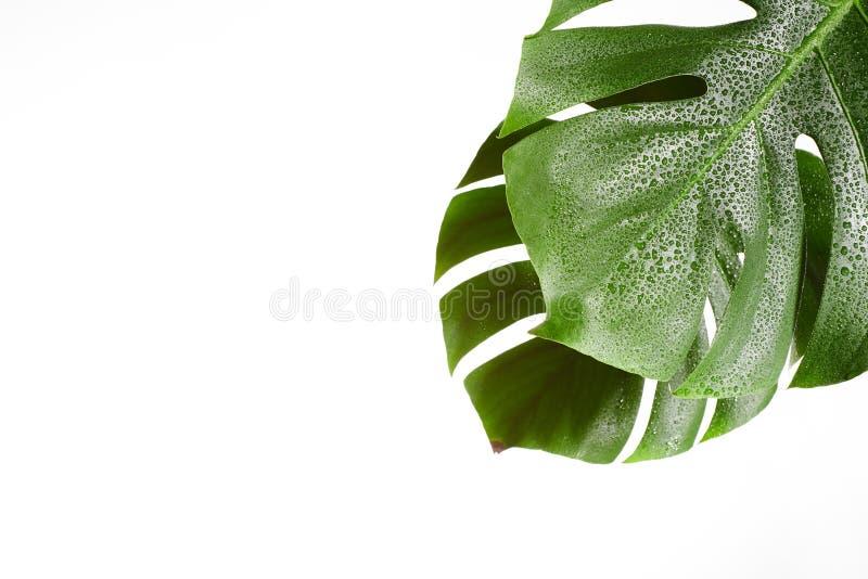 Monstera eller minsta vit bakgrund för palmbladsommar Utrymme för text Copyspace med tropiskt blom- grön leaf arkivfoton