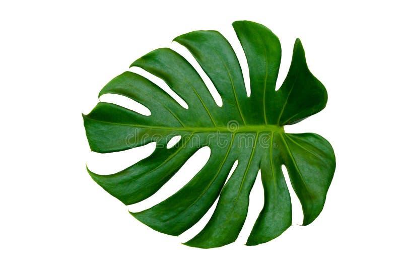 Monstera laisse des feuilles avec l'isolat sur les feuilles blanches de fond sur le blanc illustration stock