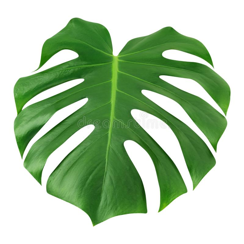 Monstera large leaf isolated. Green jungle leaf unique tropical design pattern white background, with clipping path. stock photo