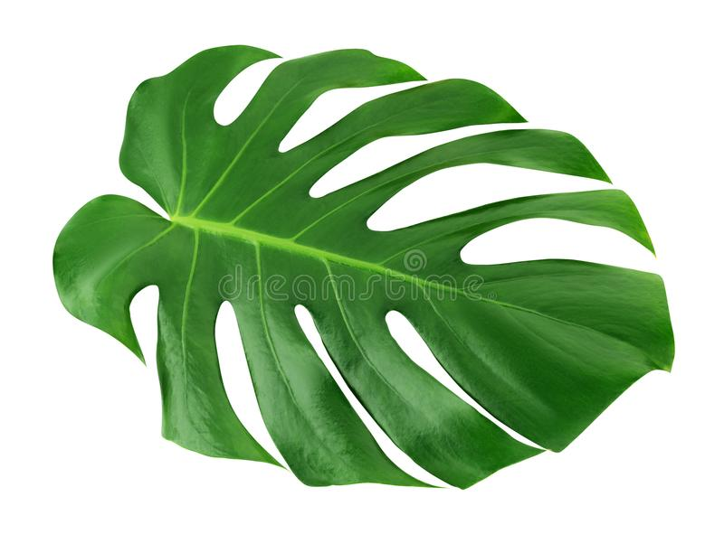 Monstera large leaf isolated. Green jungle leaf unique tropical design pattern white background, with clipping path. Monstera large leaf isolated. Green jungle royalty free stock photos