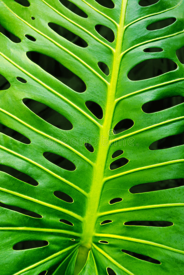 Monstera leaf stock photography