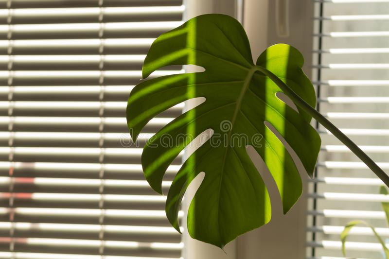 Monstera leaf close up. home plant royalty free stock image