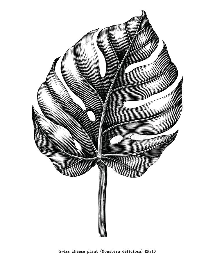 Monstera leaf hand draw vintage engraving clip art isolated on w. Hite background stock illustration
