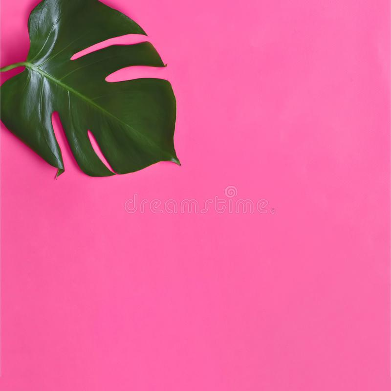 Monstera leaf  isolated on pink background. Top view. Summer palm fresh foliage minimalistic concept. Monstera big green leaf stock photography