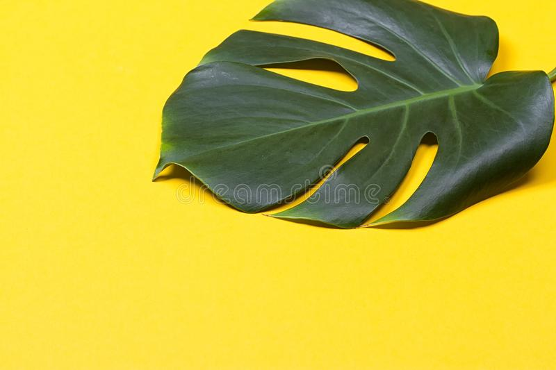 The monstera leaf stock images