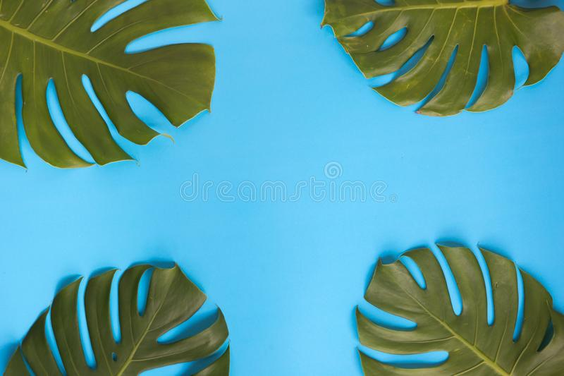 Monstera leaves around each corner decorated over creative vibrant blue plain background. stock photography