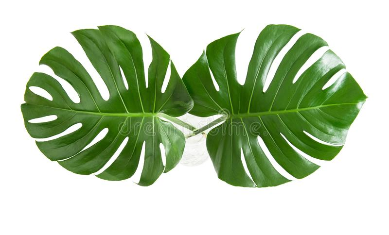 Monstera leaves exotic plant white background top view royalty free stock image