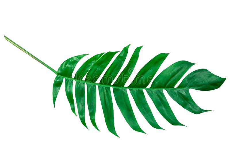 Monstera leaves lush decorating for composition design style exotic. Tropical palm philodendron leaf isolated white background and stock photography