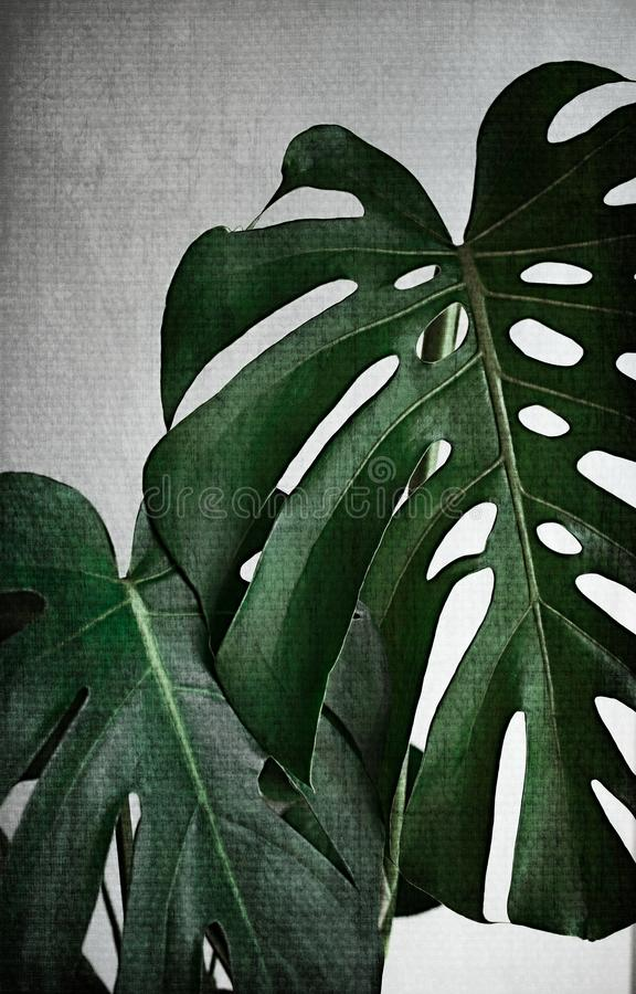 Monstera leaves on white background vintage grunde toned. Tropical exotic palm leaves. minimal nature background stock images