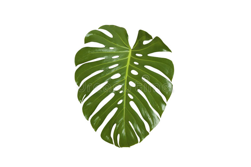 Monstera liść obrazy stock