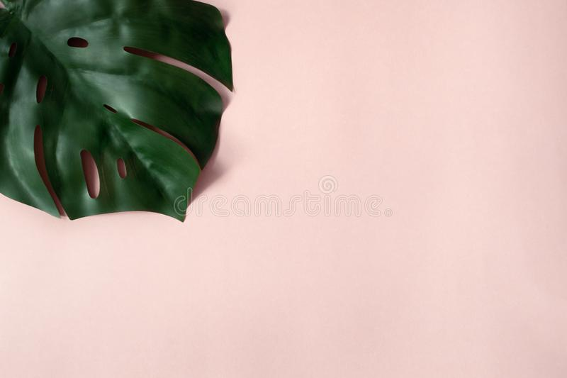 Monstera op roze achtergrond royalty-vrije stock fotografie