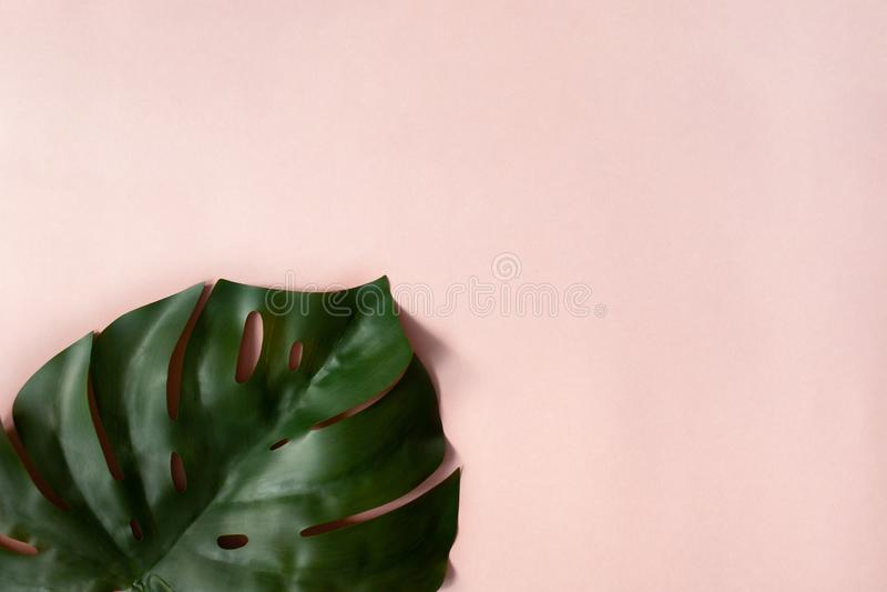 Monstera op roze achtergrond stock foto's