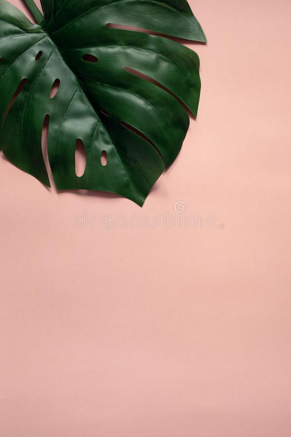 Monstera op roze achtergrond stock afbeelding