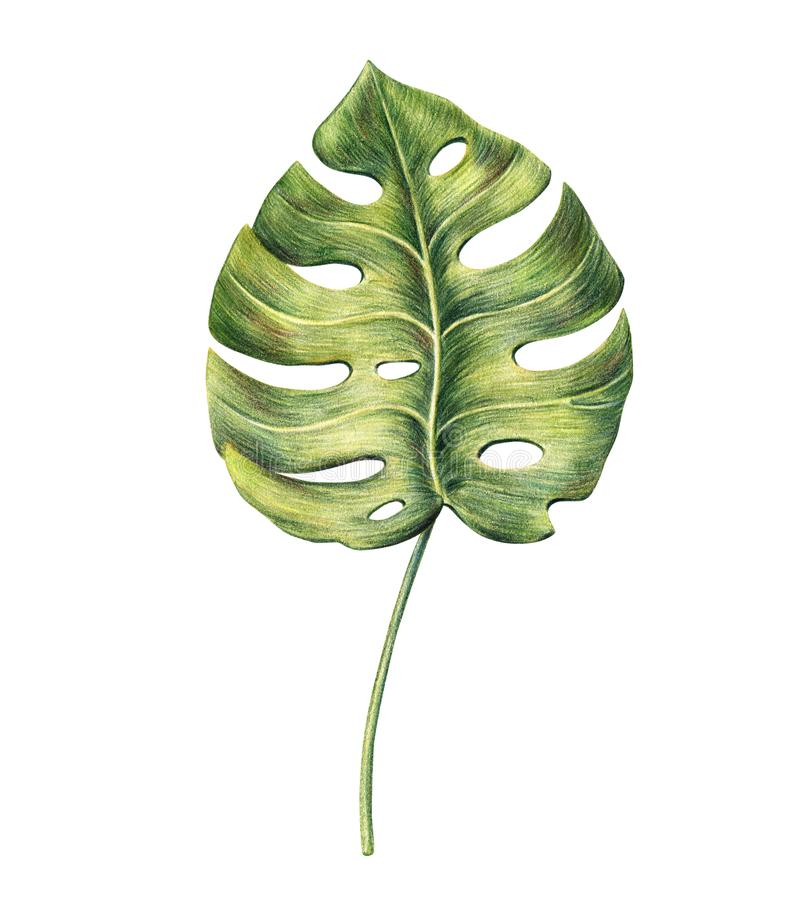 Monstera palm leaf hand drawn with colored pencils stock illustration