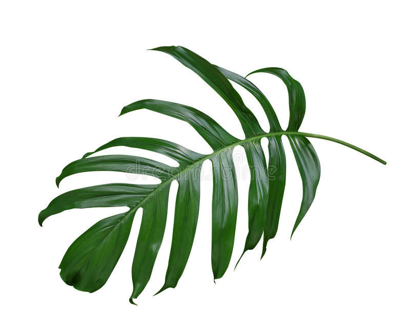 Monstera plant leaf, the tropical evergreen vine isolated on white background, path. Monstera plant leaf, the tropical evergreen vine isolated on white royalty free stock image