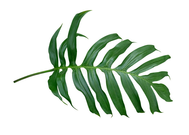 Monstera plant leaf, the tropical evergreen vine isolated on white background, path. Monstera plant leaf, the tropical evergreen vine isolated on white royalty free stock images