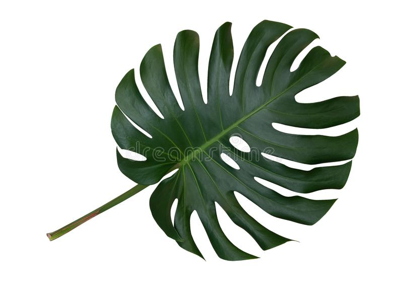 Monstera plant leaf, the tropical evergreen vine isolated on white background, path. Monstera plant leaf, the tropical evergreen vine isolated on white royalty free stock photography