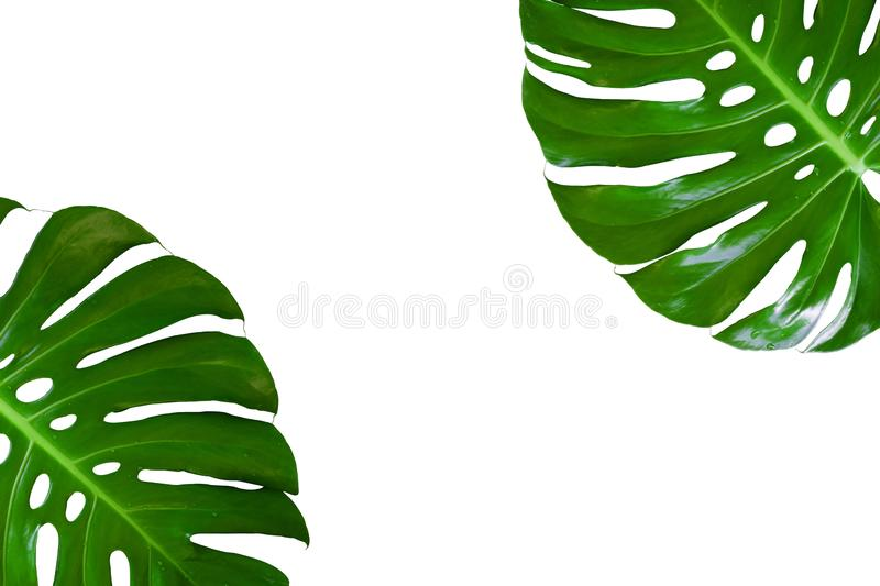 Monstera plant leaf, the tropical evergreen vine isolated on white background, Real leaves decoration for composition design. royalty free stock photo