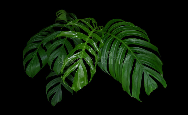 Monstera plant leaves, green tropical forest, evergreen vine on. Black background stock images