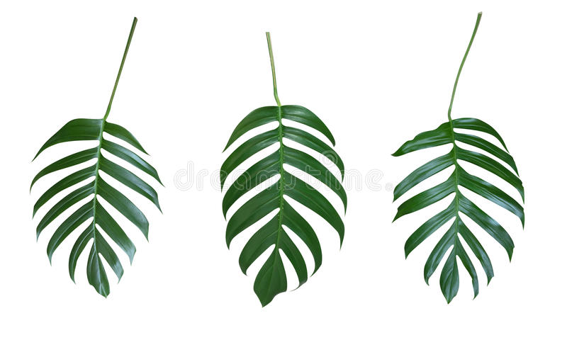 Monstera plant leaves, the tropical evergreen vine isolated on. White background, clipping path royalty free stock photo