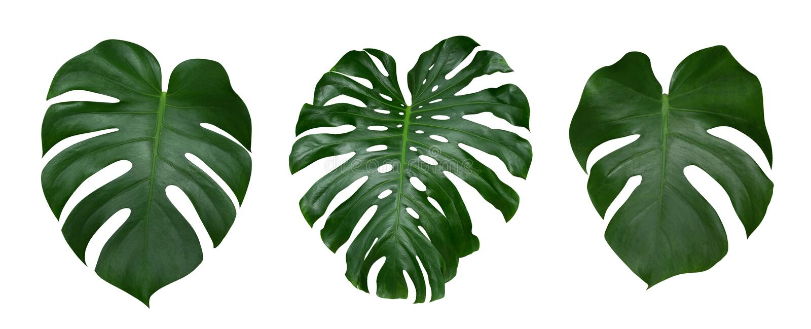 Download Monstera Plant Leaves, The Tropical Evergreen Vine Isolated On White Background, Path Stock Image - Image of green, growth: 98256559