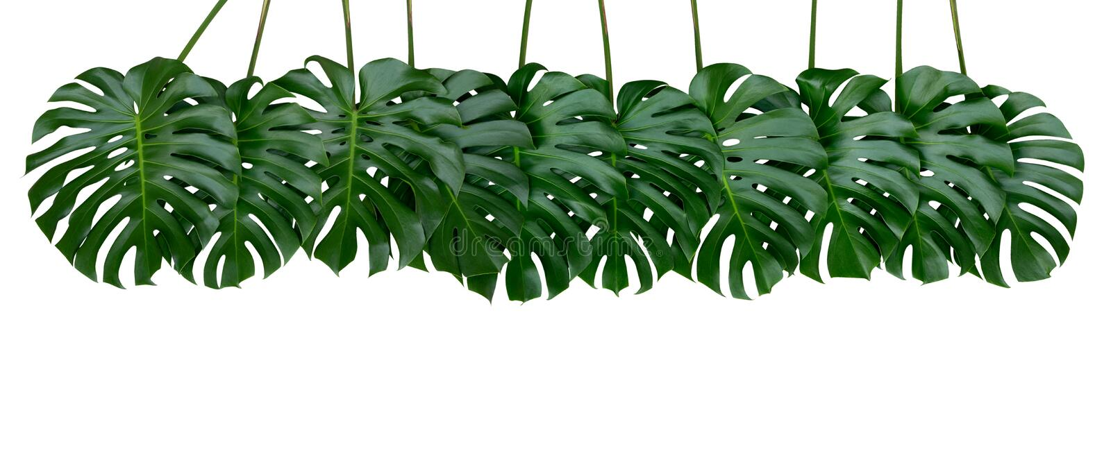Monstera plant leaves, the tropical evergreen vine isolated on white background, path. Monstera plant leaves, the tropical evergreen vine isolated on white stock photos