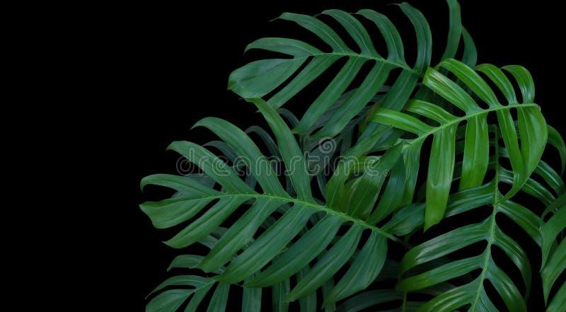 Monstera rośliny liście, zielony tropikalny las, wiecznozielony winograd dalej obrazy stock