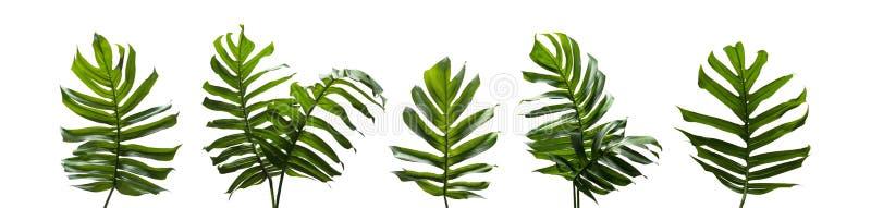 Monstera wielokrotność, Tropikalni liście ustawia odosobnionego na białym backgro obraz stock
