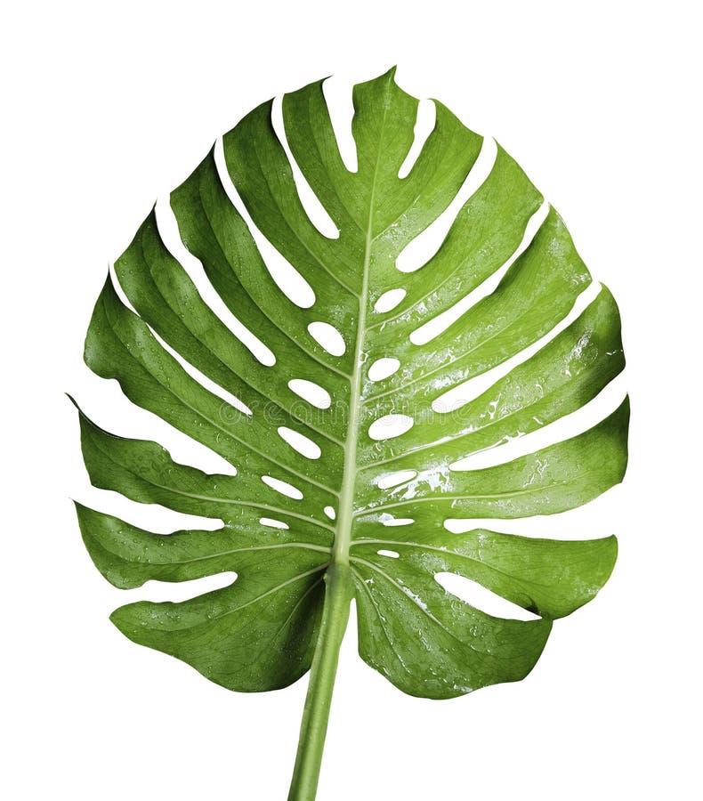 Monsteradeliciosa of het Zwitserse tropische blad van de kaasinstallatie stock afbeeldingen