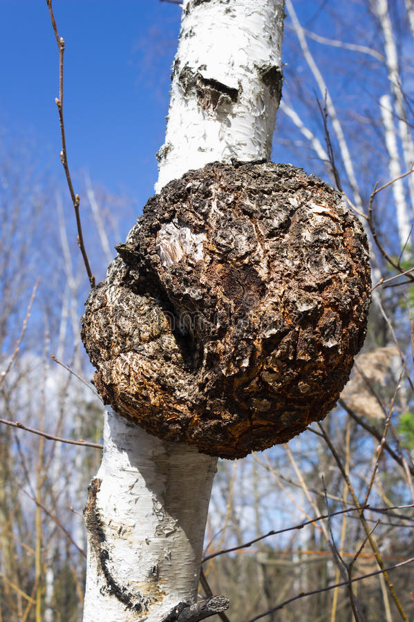 Download Monstrous Excrescence On  Birch Trunk Stock Photo - Image: 30636082